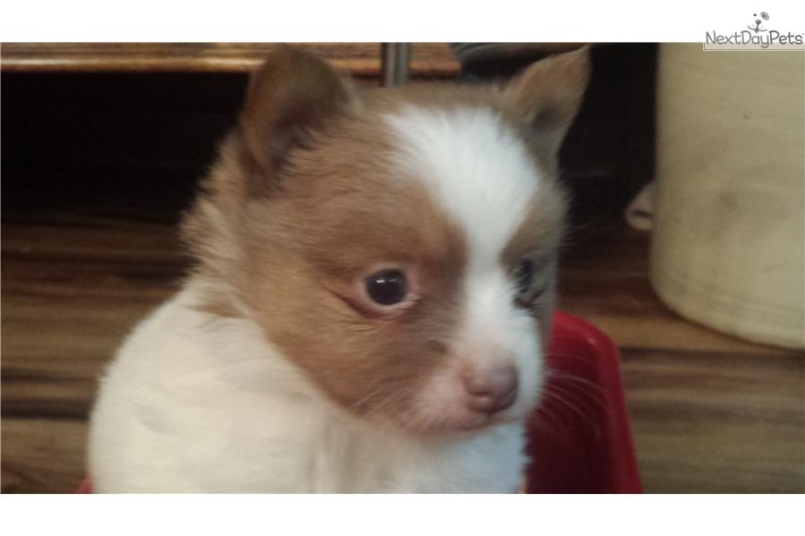 Pomeranian Puppy For Sale Near Tulsa Oklahoma 9e307acc E971