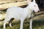 Picture of CHAMPIONS BLOODLINES MALE EUROPE INPORTED LINES