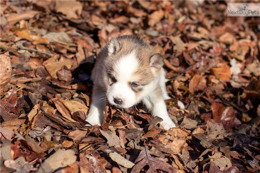 Pomsky puppy for sale near Southeast Missouri, Missouri ...