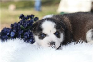 Salva | Puppy at 6 weeks of age for sale