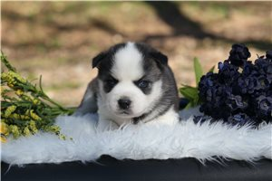 Apolly | Puppy at 6 weeks of age for sale
