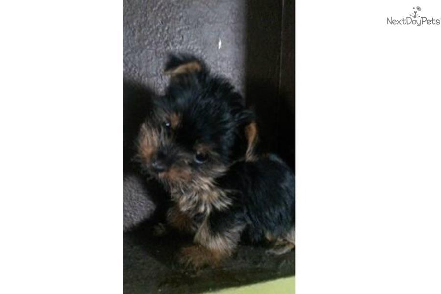 Yorkies Yorkshire Terrier Yorkie Puppy For Sale Near El Paso