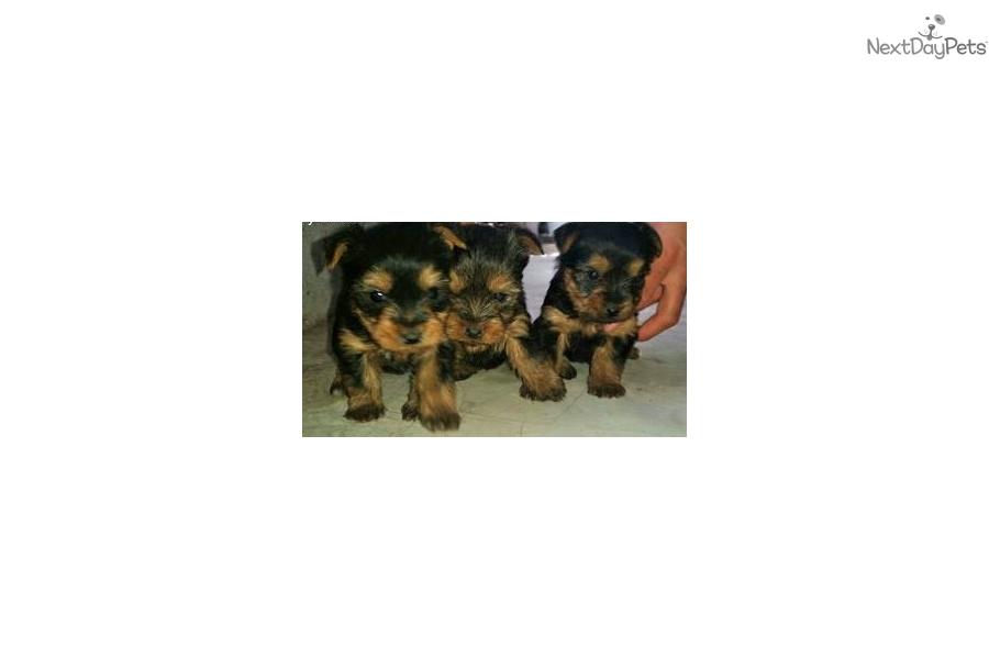 Yorkies Fem Yorkshire Terrier Yorkie Puppy For Sale Near El Paso