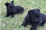 Picture of AKC Girls