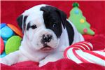 Alapaha Blue Blood bulldogs Female  | Puppy at 5 weeks of age for sale