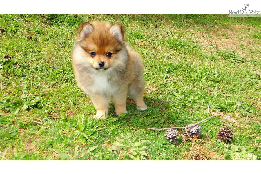 pomeranian puppies for sale in ga pomeranian puppy for sale near atlanta georgia 629c5185 2312