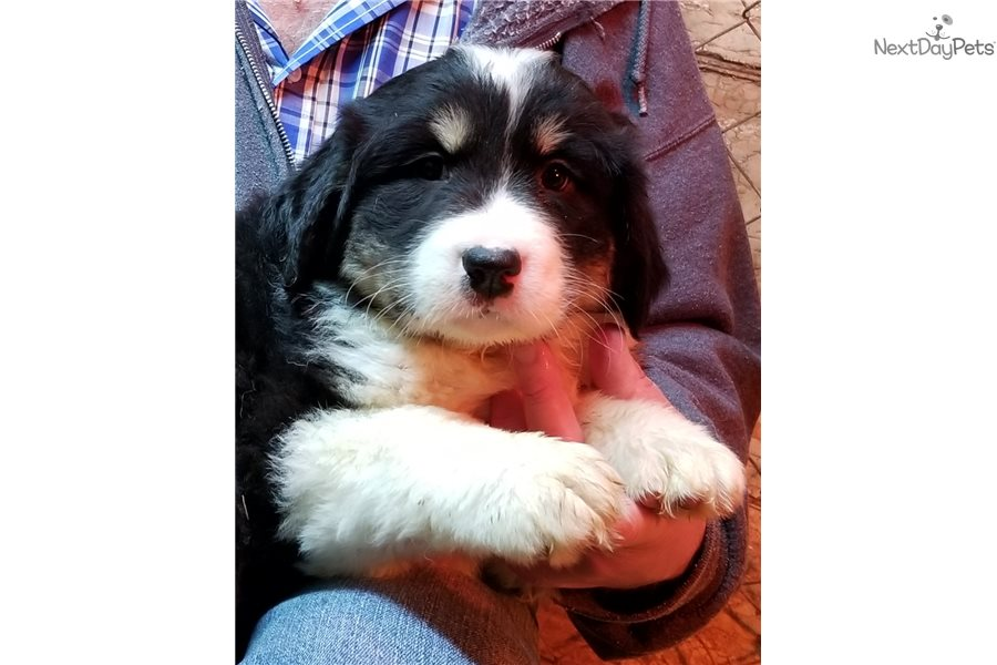Great Berner F1 Mixedother Puppy For Sale Near Dayton