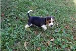 Picture of AKC Male Tricolor Beagle