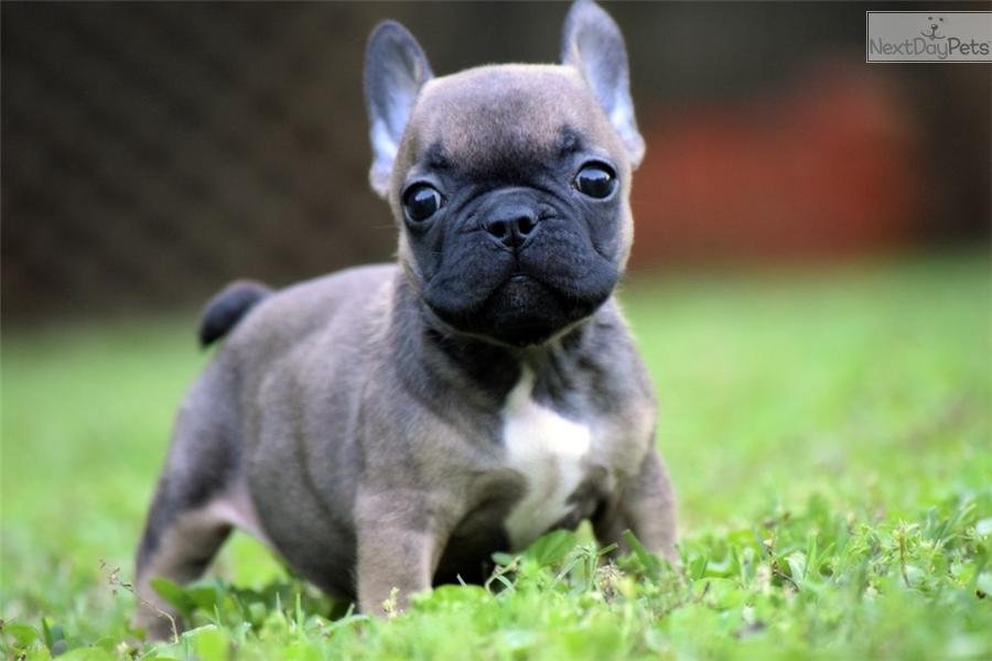 miniature french bulldog