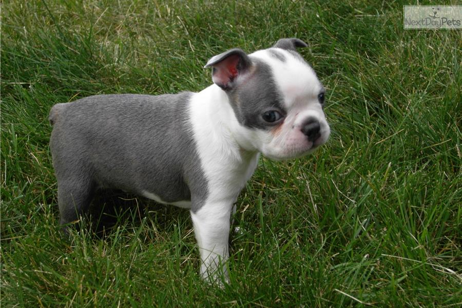 blue boston terrier puppies boston terrier for sale for 1 400 near denver colorado 478