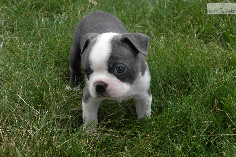 blue boston terrier for sale pin boston terrier puppies dog for sale on pinterest 2113