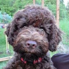 View full profile for Bella Fiore Lagotto Romagnolos