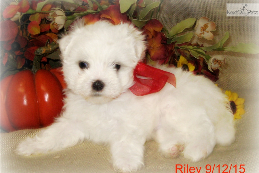 maltese puppies for sale in oklahoma maltese puppy for sale near tulsa oklahoma 7ac8fb30 9d11 9956