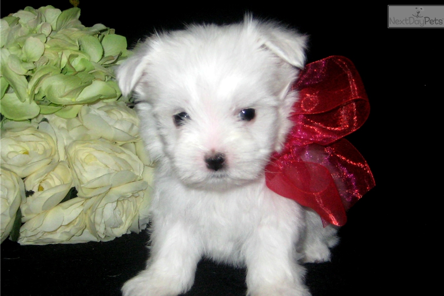 maltese puppies for sale in oklahoma maltese puppy for sale near tulsa oklahoma 40f5c01e 05d1 4005