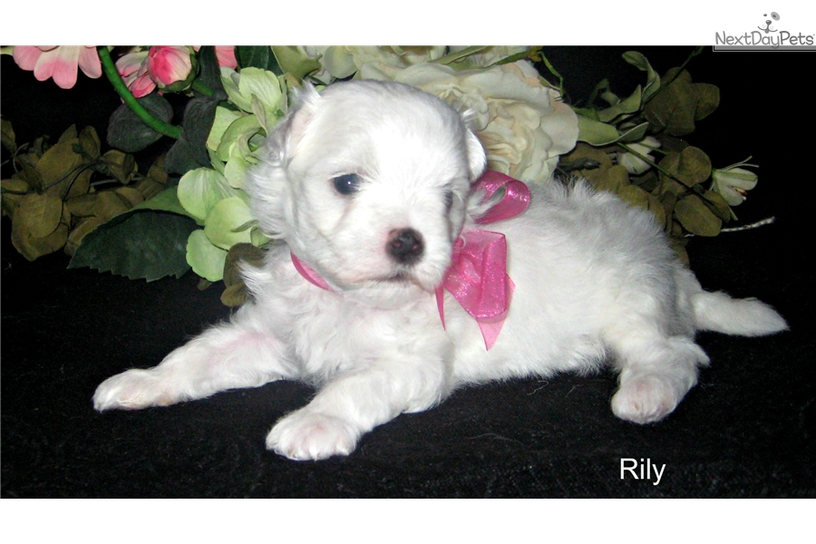 maltese puppies for sale in oklahoma maltese puppy for sale near tulsa oklahoma 7ac8fb30 9d11 3434