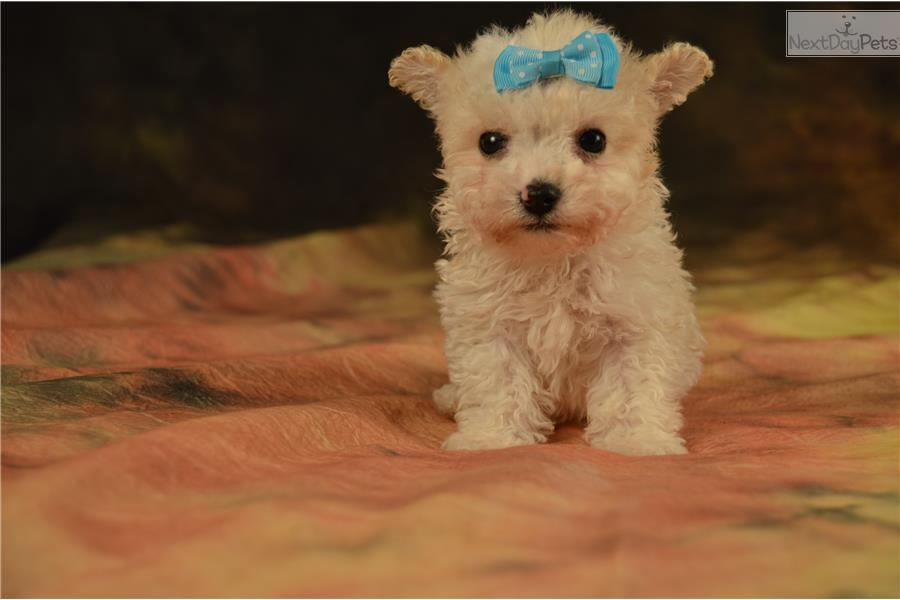 Images of Apricot Maltipoo Puppies For Sale Near Me - #rock-cafe