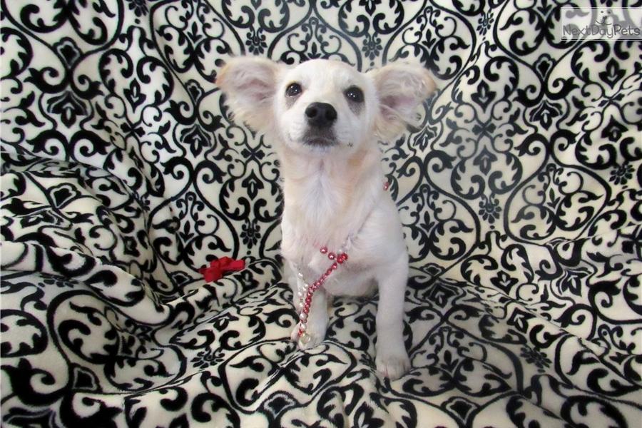 Chloe Pomchi Puppy For Sale Near Tulsa Oklahoma 1706f29c 04f1