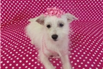 Picture of Teacup Sadie Maltese/Chihuahua