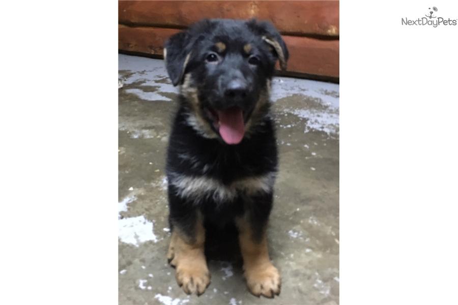 Ruger German Shepherd Puppy For Sale Near Portland Oregon