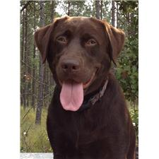View full profile for Morgan Labradors