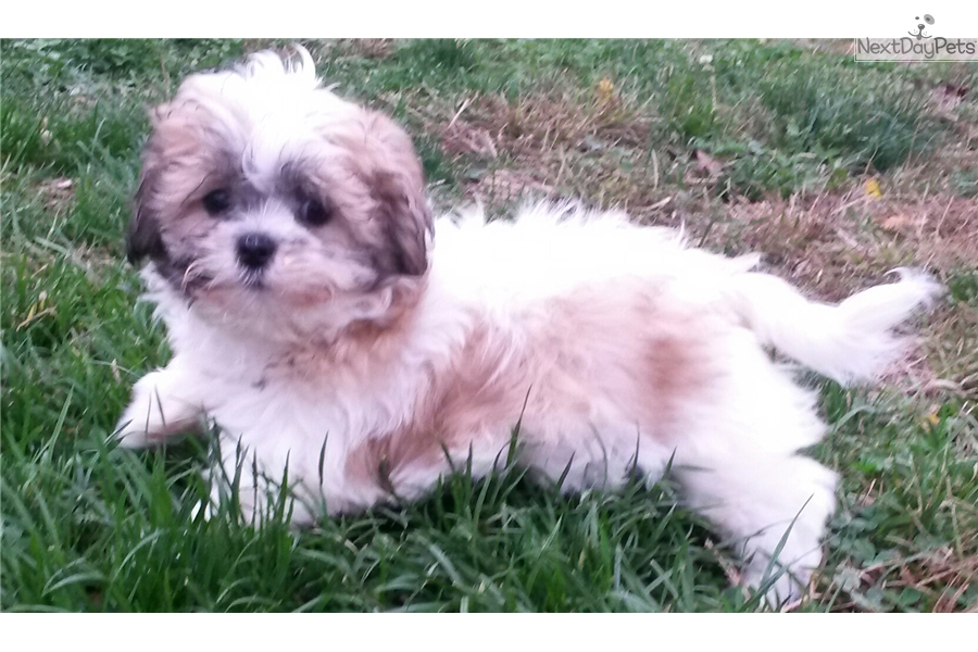 shih tzu breeders in md shih tzu shih tzu puppy for sale near baltimore maryland 3125