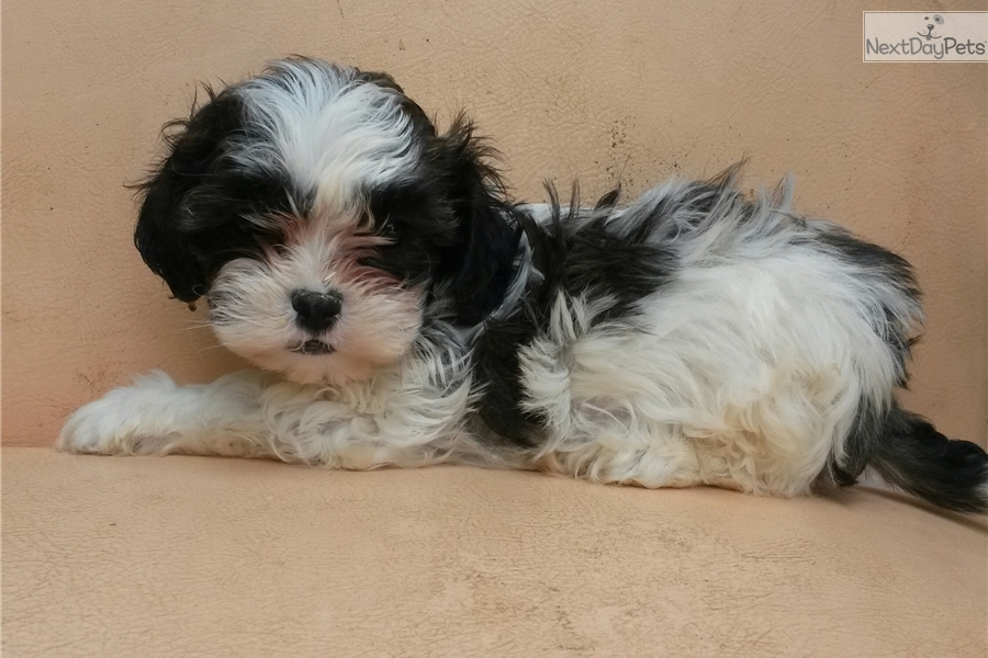 shih tzu breeders in md shih tzu puppy for sale near baltimore maryland 8869