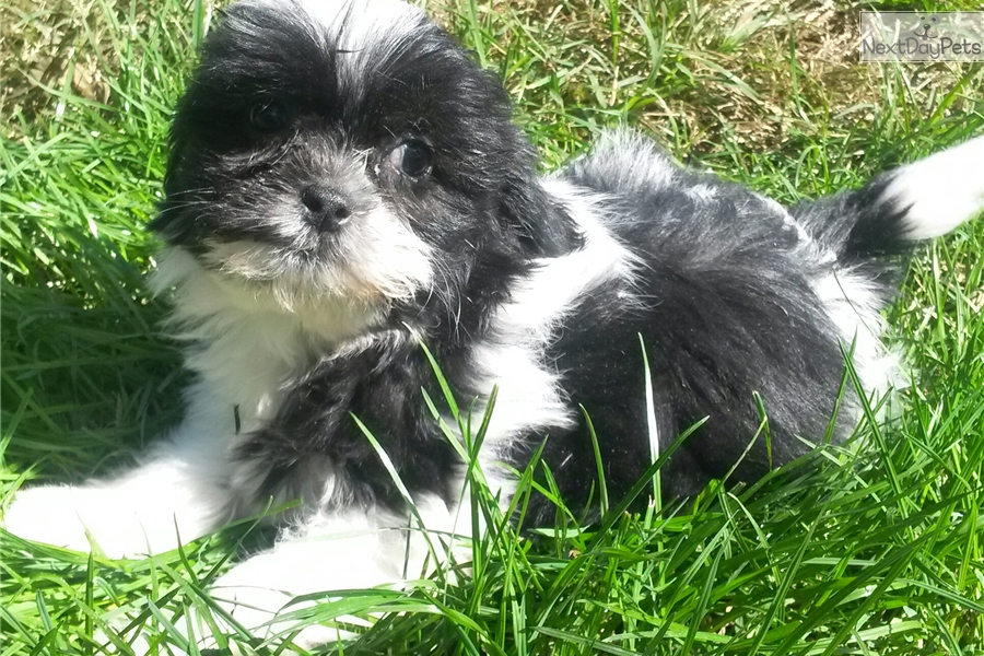 shih tzu breeders in md shih tzu puppy for sale near baltimore maryland 899