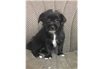 Picture of Chorkie Chihuahua Yorkie puppy female