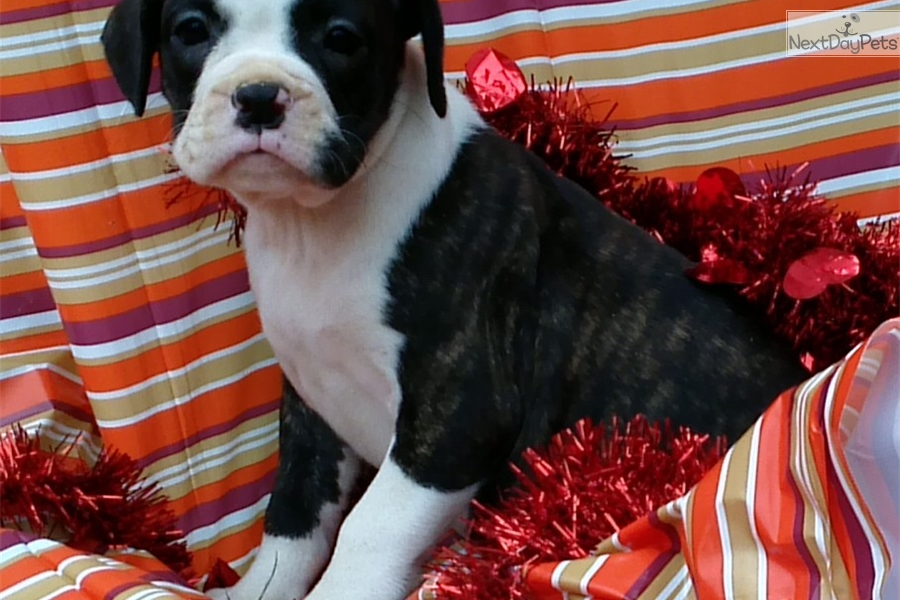 Boxer puppy for sale near Baltimore, Maryland | ac82ec8f-4751
