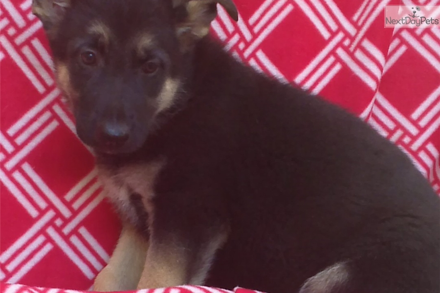 Carmie German Shepherd Puppy For Sale Near Baltimore Maryland