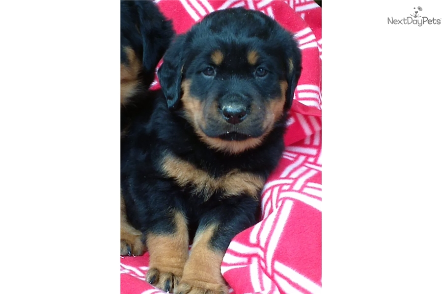 Roxette Rottweiler Puppy For Sale Near Baltimore Maryland