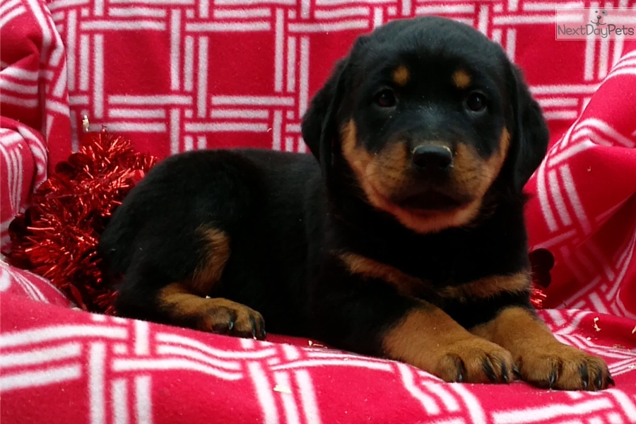 Roxy Rottweiler Puppy For Sale Near Baltimore Maryland E2cc3f24 8f01