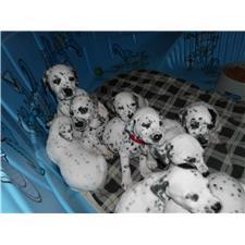 View full profile for Dalmatians