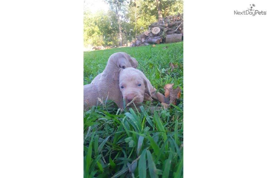 Silver Elite: Weimaraner puppy for sale near Jonesboro