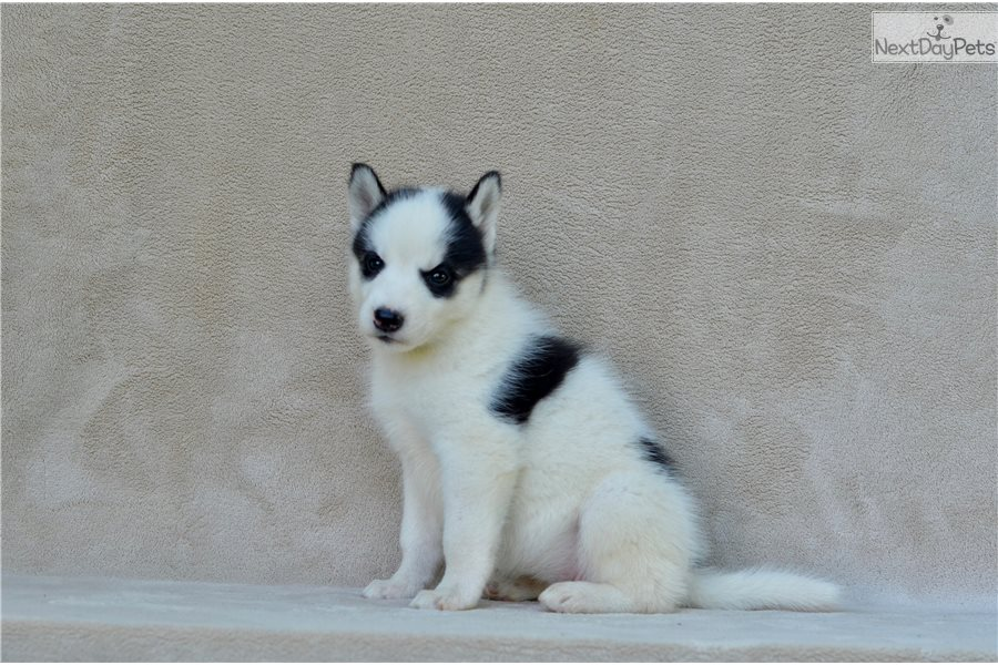No Collar Siberian Husky Puppy For Sale Near St Joseph Missouri