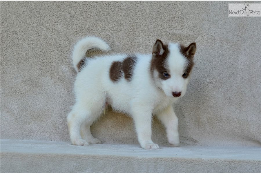 Tan Collar Siberian Husky Puppy For Sale Near St Joseph Missouri
