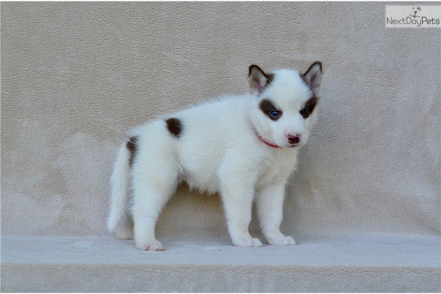 Red Collar Female Siberian Husky Puppy For Sale Near St Joseph