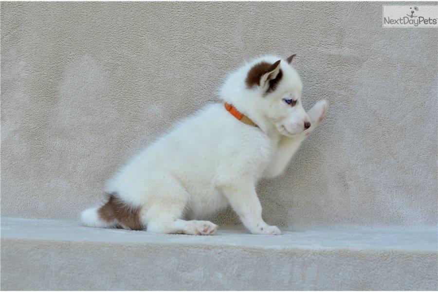 Orange Collar Siberian Husky Puppy For Sale Near St Joseph