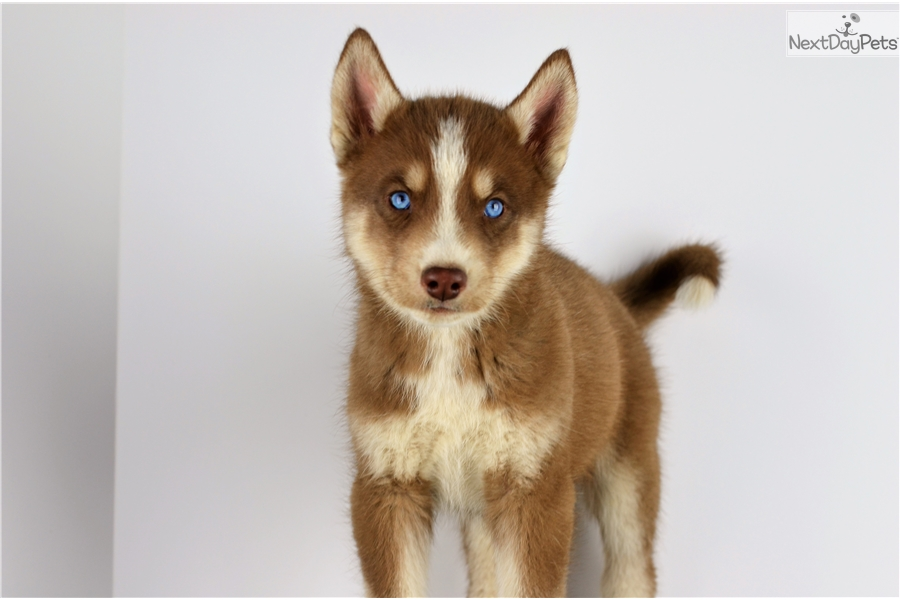 Red White Male Siberian Husky Puppy For Sale Near St Joseph