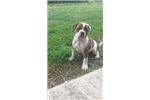 Picture of Alapaha Blue Blood Bulldog- IntCh Sire/Dam