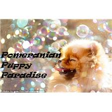 View full profile for Pomeranians Of Delaney Manor