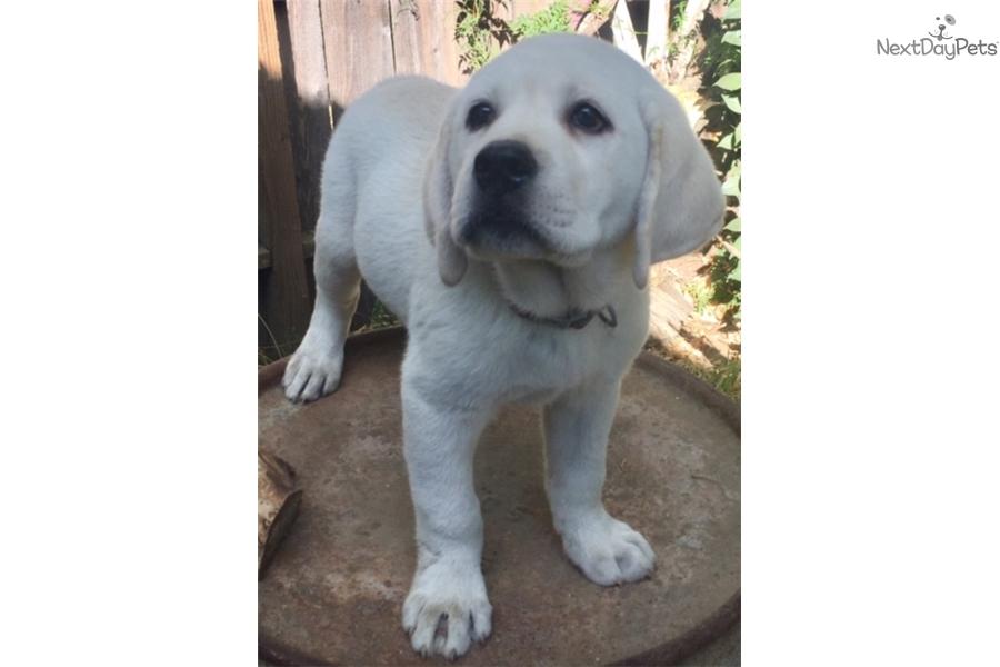 Labrador Puppies For Sale In Sacramento