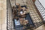 Picture of AKC Bullmastiff puppies titled pedigreess