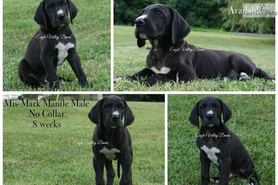 Mantle No Collar Great Dane Puppy For Sale Near Morgantown