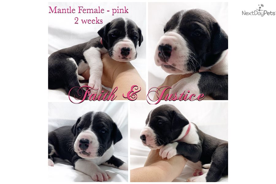 Mantle Female Pink C: Great Dane puppy for sale near ...