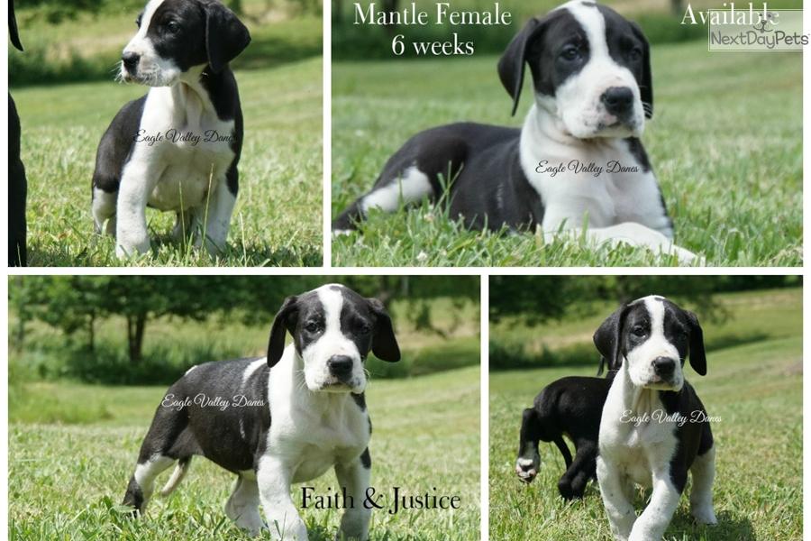 Mantle Great Dane Puppy For Sale Near Morgantown West Virginia