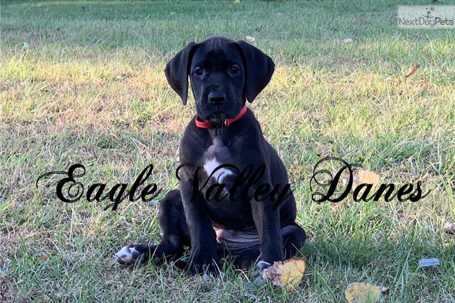 Black Male: Great Dane puppy for sale near Morgantown ...
