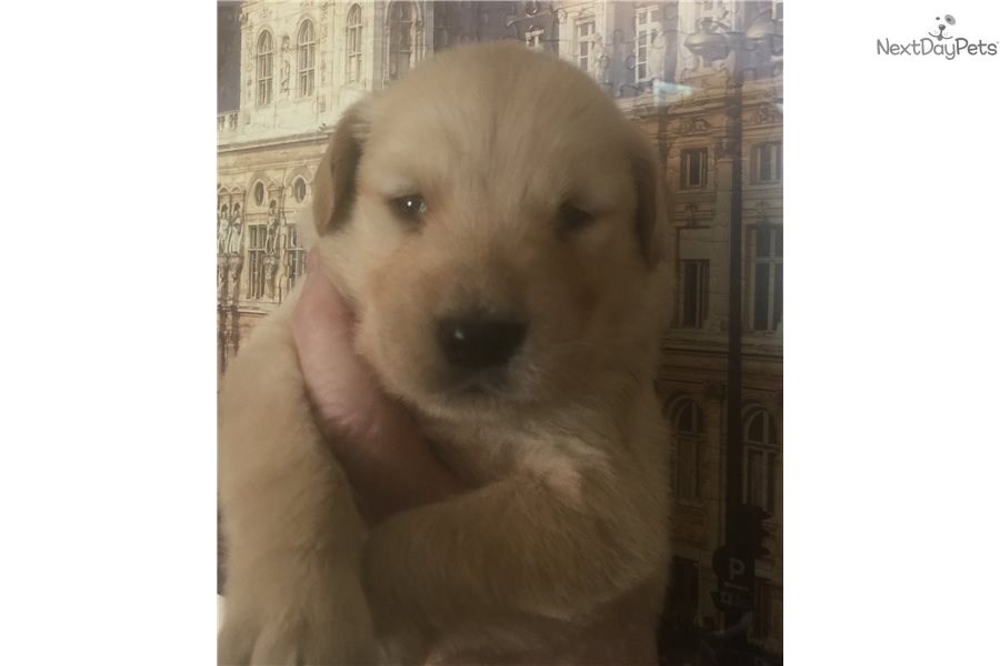 Brady Boy Golden Retriever Puppy For Sale Near Worcester Central