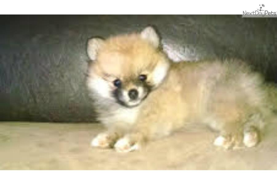 pomeranian breeders michigan 9 week old pomeranian pomeranian puppy for sale near 927