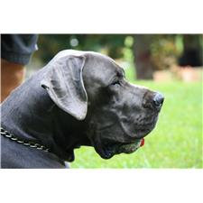 View full profile for Carolina Blue Great Danes